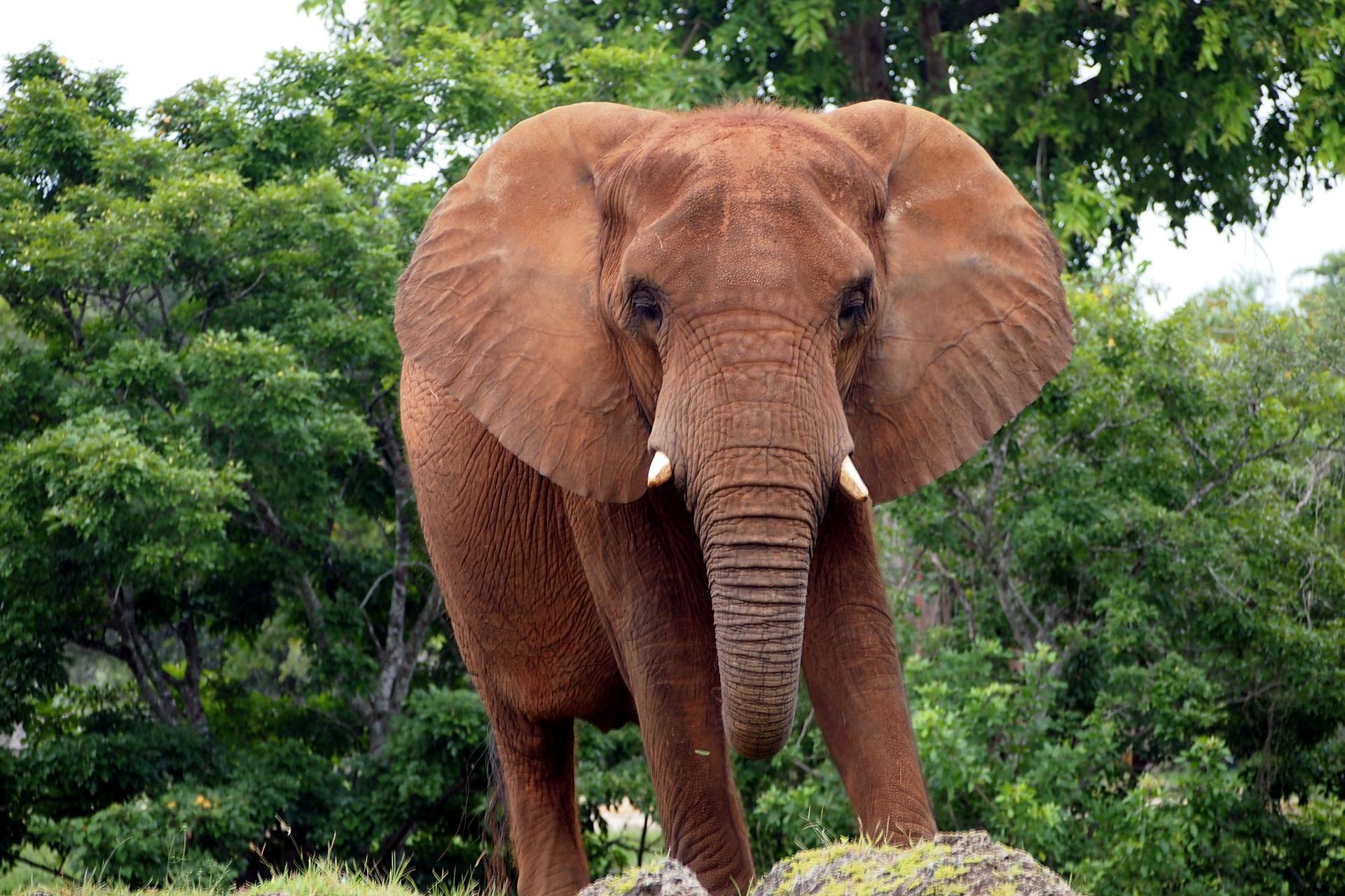 De olifant is slim